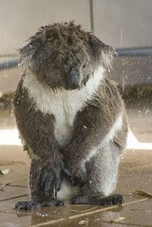 No Title Just Lots Of Words Wet Koalas Have Taken Over