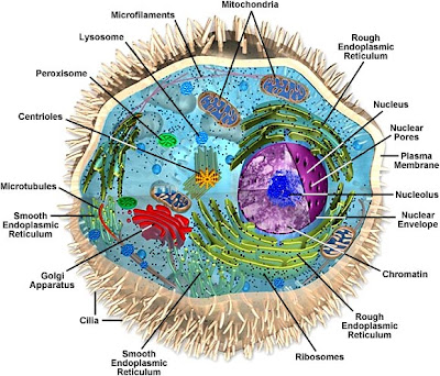 Biology- Cells: The Ultrastructure of Animal Cells