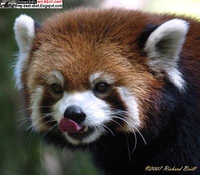 panda essay