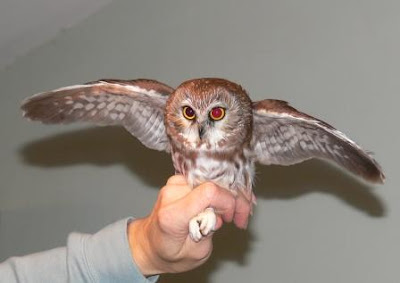 northern saw whet owl invasion update