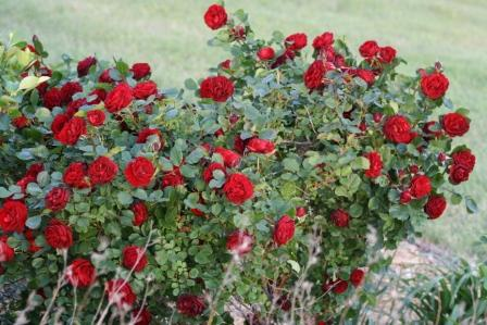 There Seems To Be A Lot Of Recent Interest In This Rose On Several Gardening Forums I Frequent Particularly Among The Zone Poor Gardeners Like Myself Who