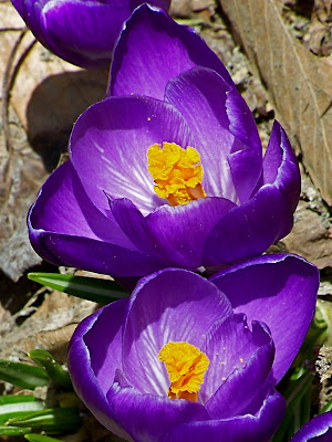 1256870f846c Photographing the first crocus of the year is always fun. These were taken  Thursday
