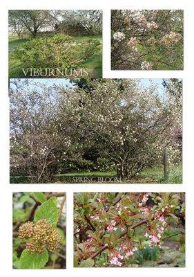 viburnums in my yard
