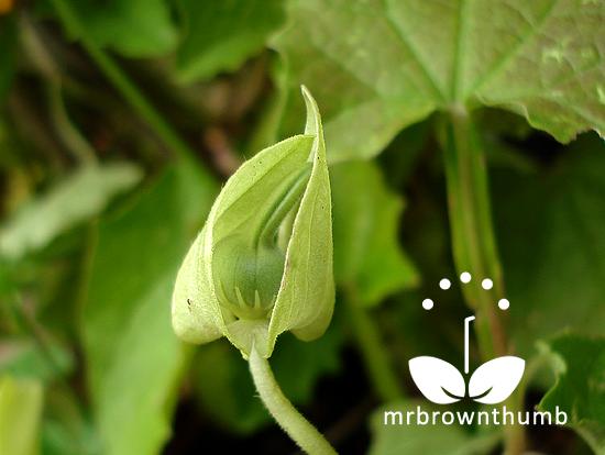Thunbergia Alata Seed Pod Developing