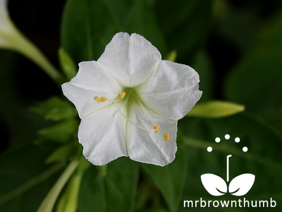 Yellow Four O' Clock Picture,Mirabilis jalapa, Marvel of Peru
