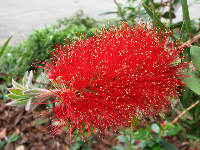 Callistemon or bottle brush flower, Livorno
