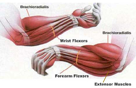 Muscle Groups Of Lower Arm 41