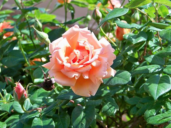 Photo A Rose In Utah