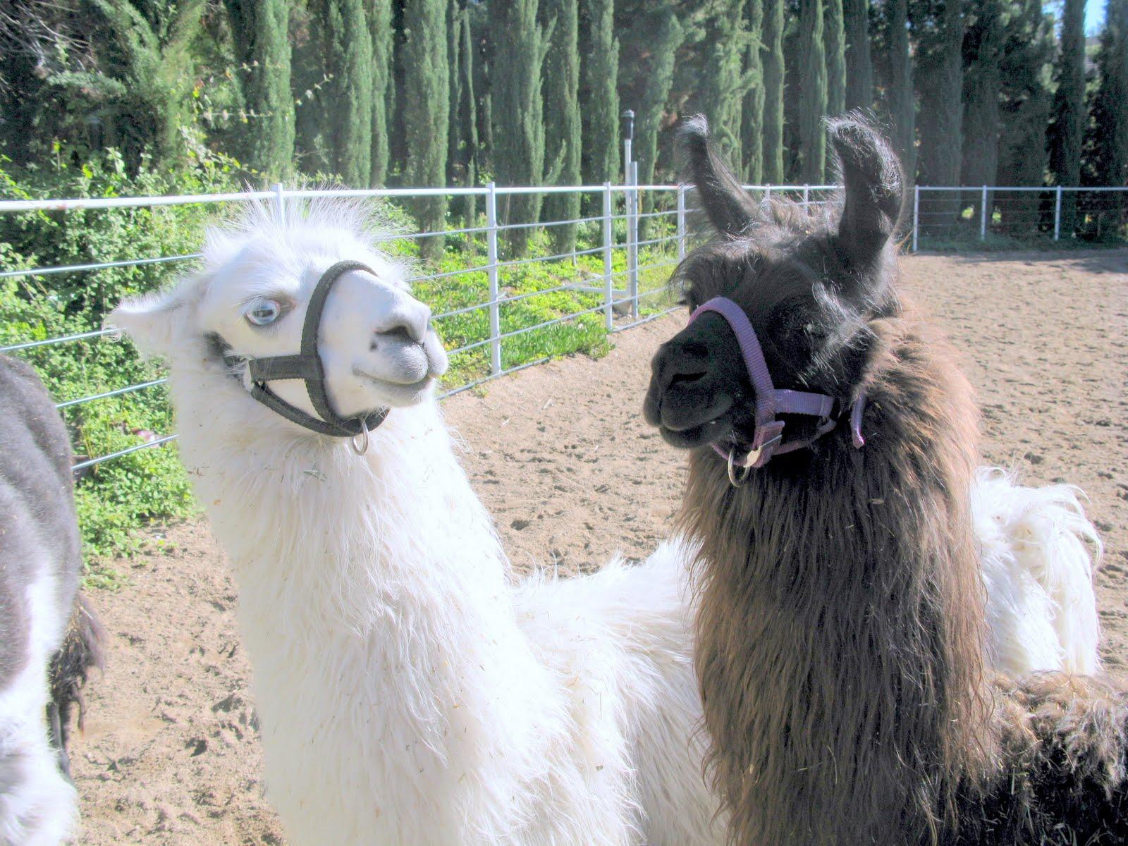 For Llama Llovers: Should You Own A Llama?