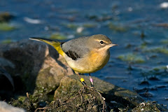 Grey Wagtail the first of three seen at Seaforth Nature Reserve (Steve Young)