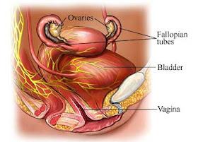 próstata femenina wikipedia de la