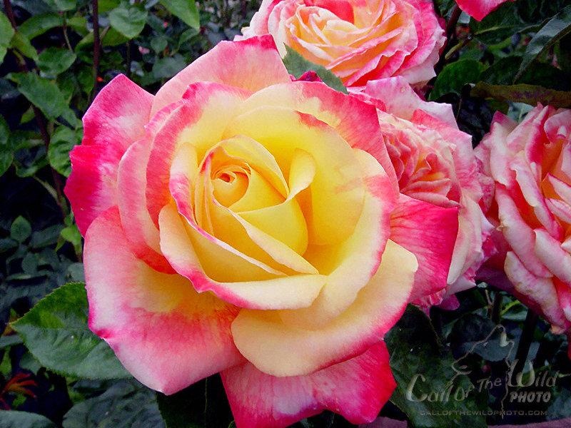Hybrid Tea Rose Bush