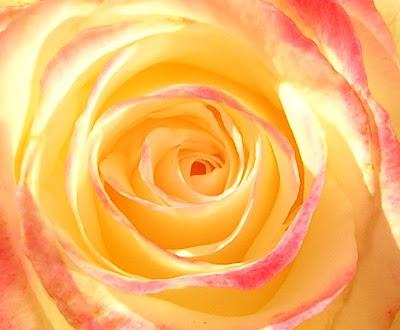 My favourite flower rose