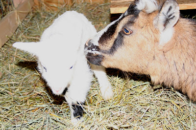 the maaaaa of pricilla welcome kevin the goat