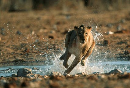 gazelle running from lion - photo #9