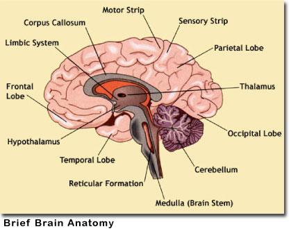 Biology A&P Lab: Brain Anatomy