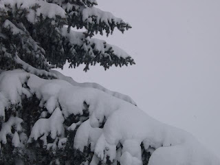 photograph of a pine tree in Denver's December, 2006 blizzard