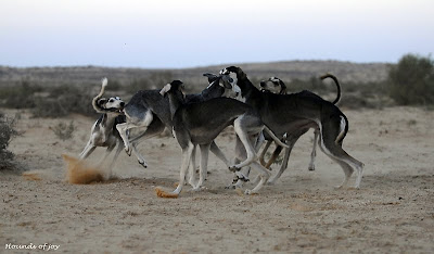 Hounds of Joy: Saluki desert hounds