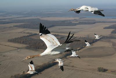 WhoopingCranesflying 10 Migrasi Hewan paling Unik di Dunia