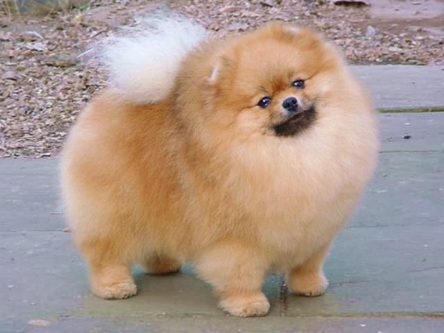 Pomeranians Puppy Grooming Cut