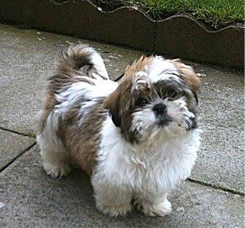 Shih Tzu Dog Breed Image | Dog Pictures Online