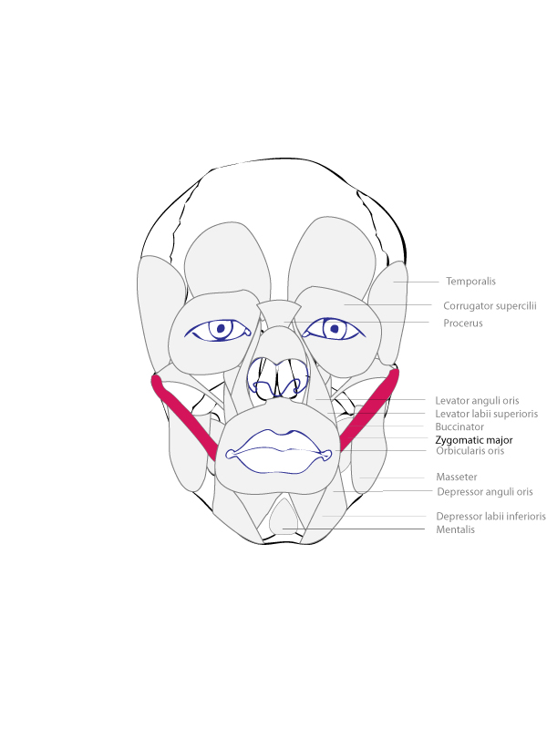Drawing Basics  Muscles of the faceZygomaticus Major And Minor Origin And Insertion