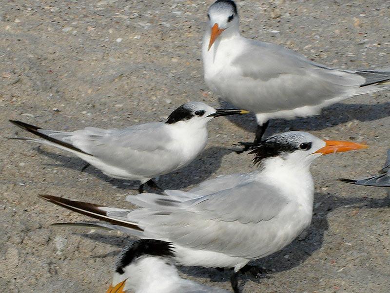 Sandpiper Key Rentals: Birds of Manasota Key