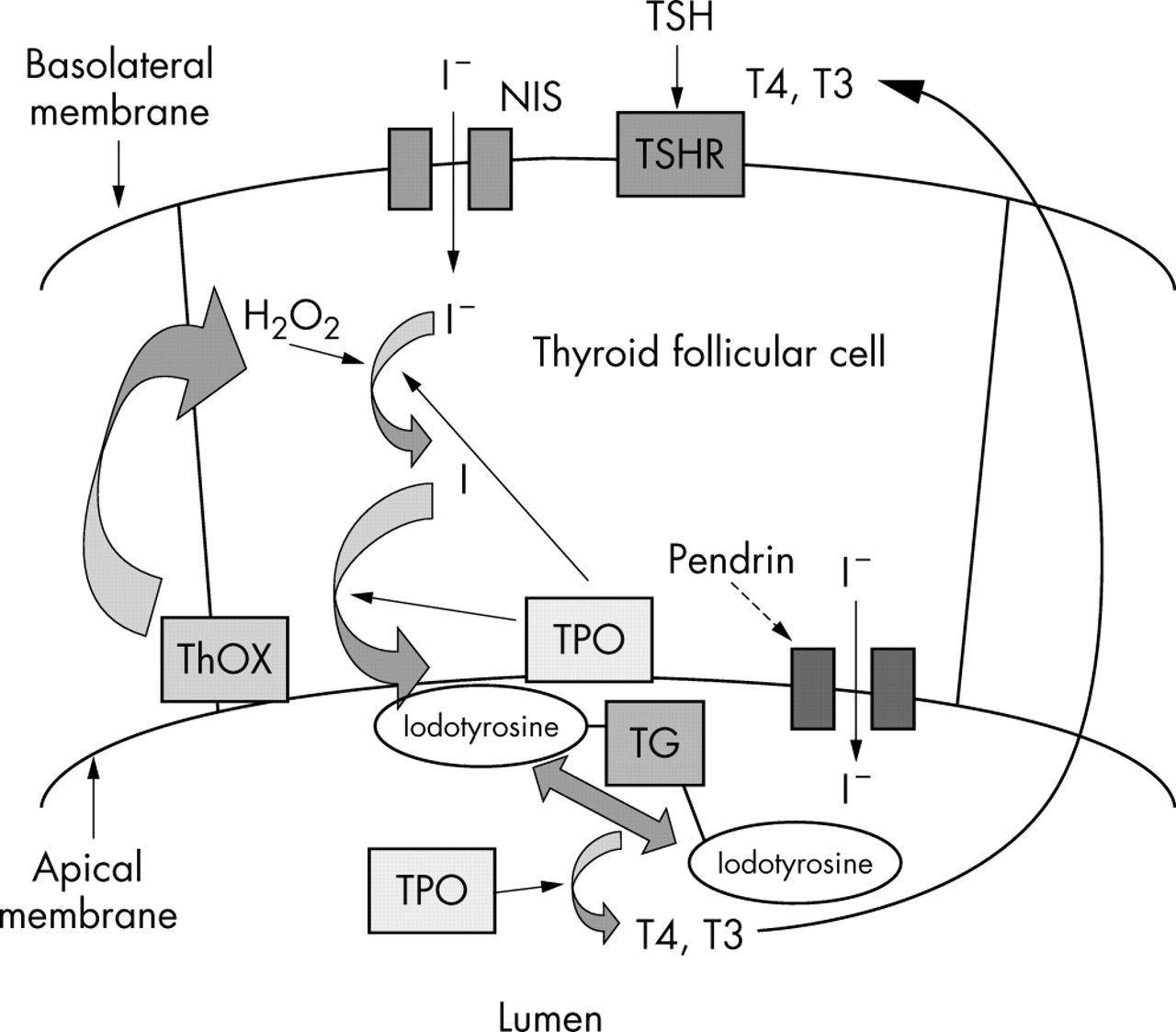 International University Thyroid Hormone Synthesis