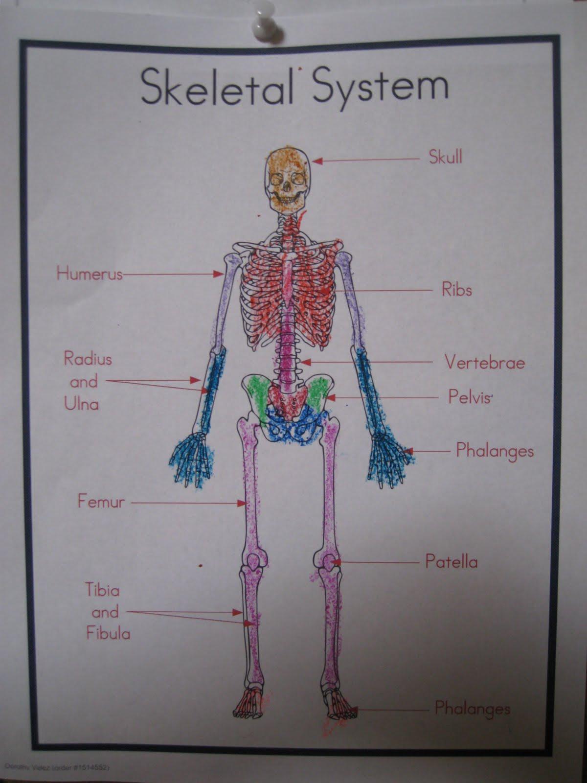 Colorful Skeletal System
