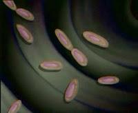 Boğmaca Basili, Bordetella Pertussis