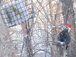 Pileated woodpecker at feeder in December