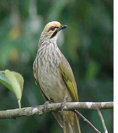 Ozybebas Burung Cucak Rowo