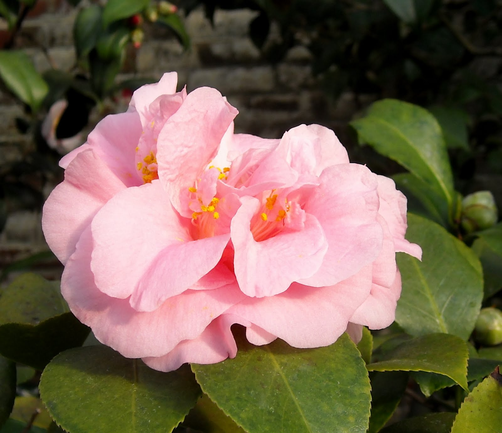 Pink Perfection Camellia Japonica