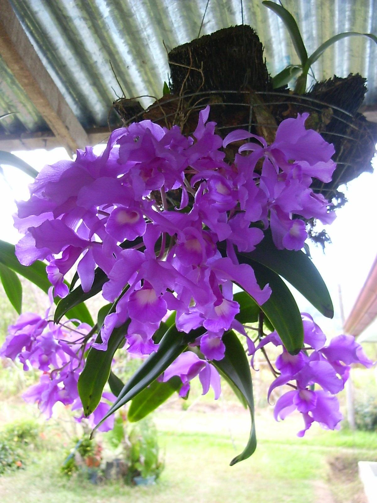 Guaria Morada Turrialba, Costa Rica. | My Beautiful Plants ... |Guaria Morada
