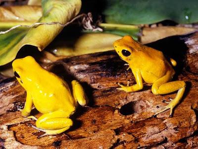 Golden Poison Dart Frog , Phyllobates Terribilis, katak , kodok