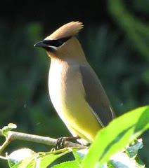 Cedar Waxwing.. a new yardbird for me