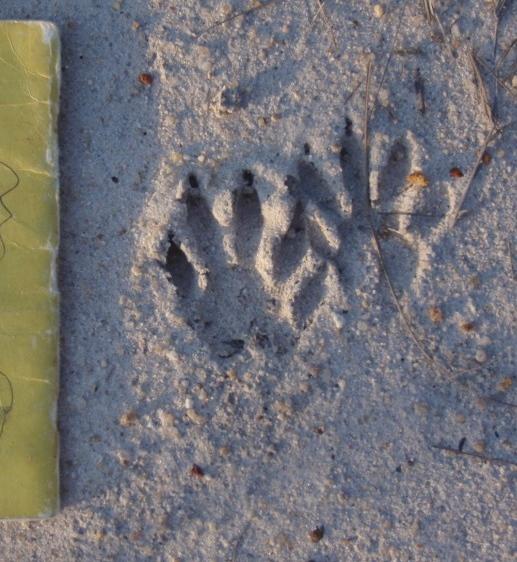 Wild Animal Tracks in Belize  The happy anachronism a
