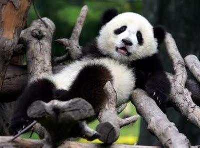 panda_relaxes_exhausted.jpg