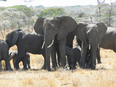 Imagini Kenya: elefanti in Amboseli