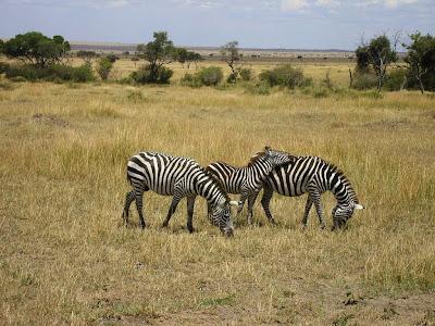 Zebre in Masai Mara