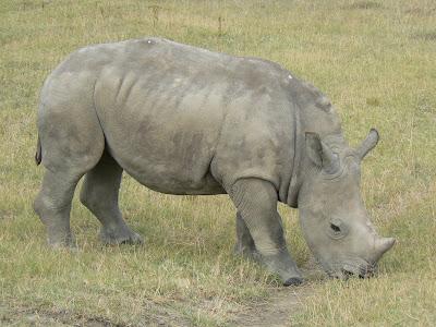 Pui de rinocer in parcul Nakuru Kenya