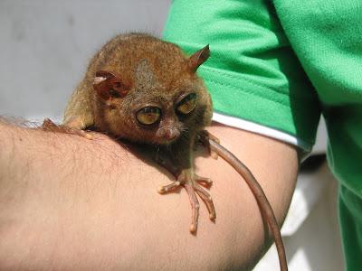 Imagini Filipine: tarsier