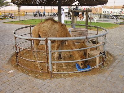 Imagini Dubai: Safari in desert, pui de camila
