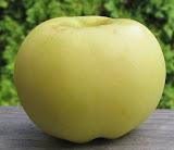 Small pretty yellow apple