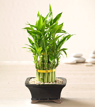 exotic plants lucky bamboo and money tree 39 s for the new year. Black Bedroom Furniture Sets. Home Design Ideas