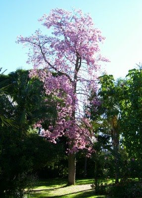 Firefly The Travel Guy: Flowering Kapok Tree