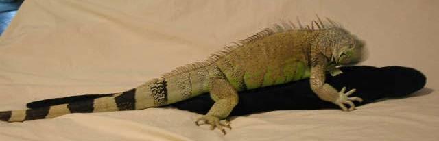 Iguanas Sex 19