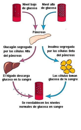 anatomía y fisiología del páncreas diabetes tipo 2