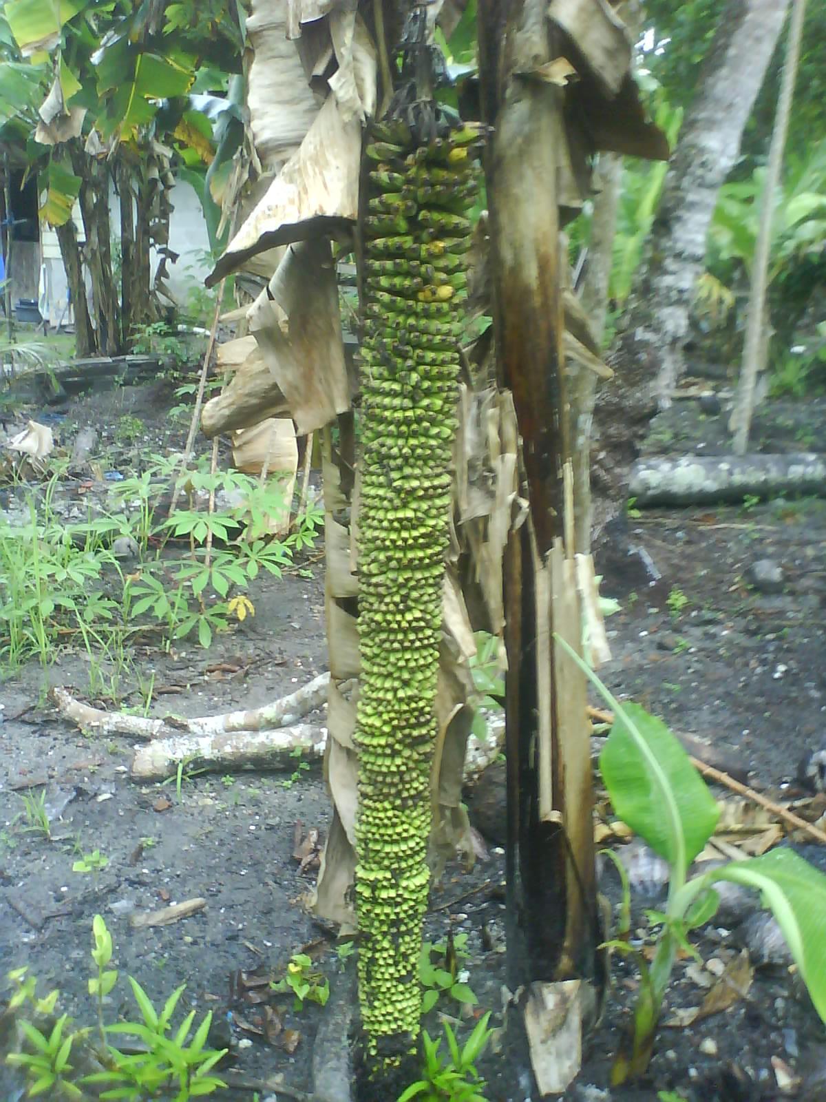 Pisang Ajaib Memiliki 1000 Buah Dalam Satu Pohon Berita Hangat