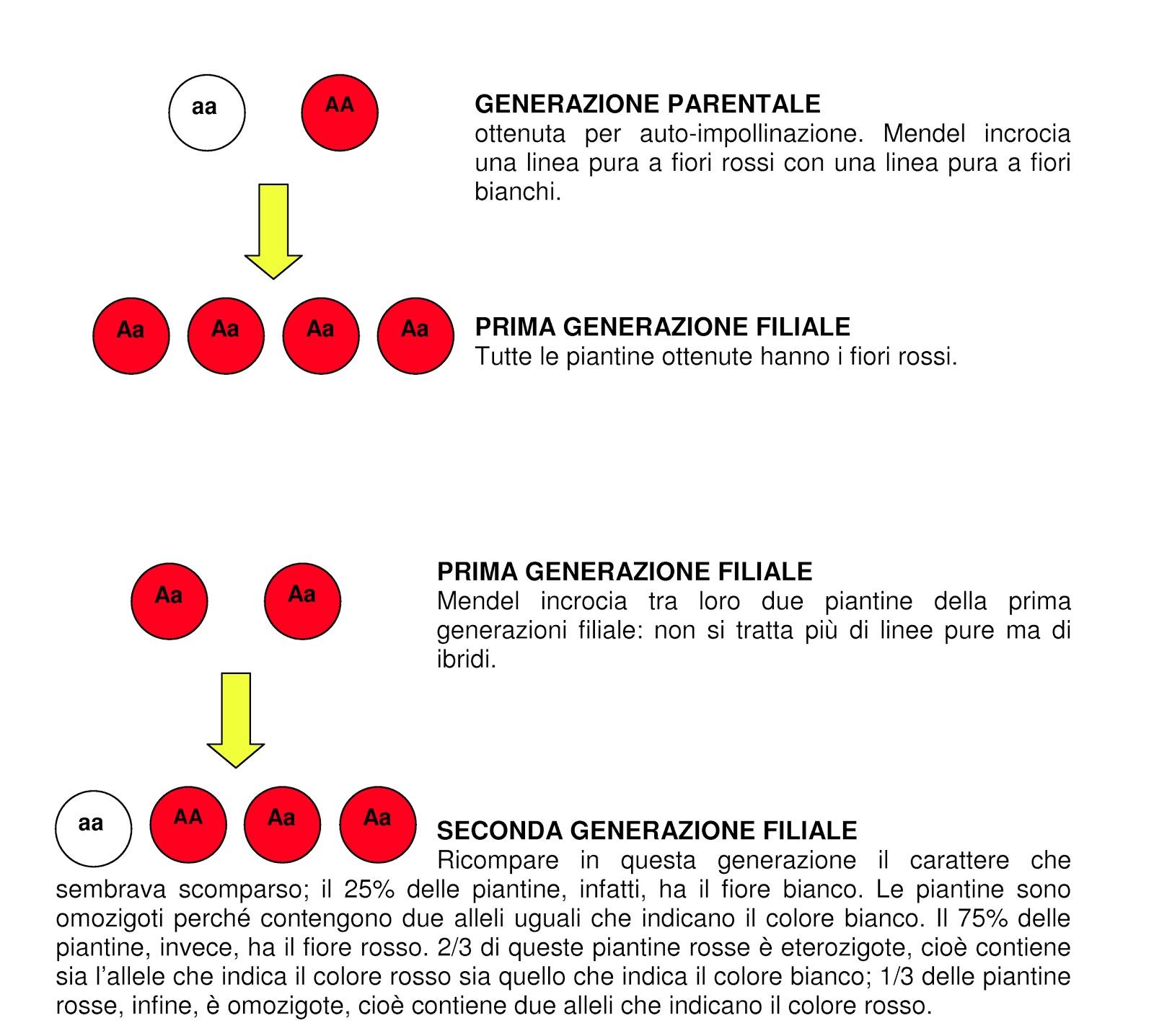 Science for passion le leggi di mendel e la loro importanza - Due caratteri diversi ...